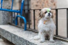 Un cane con un nastro al collo con la bandiera della Spagna e dei peli ha tinto verde, durante il raduno di Vox Caceres immagini stock