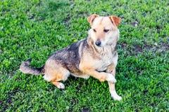 Un cane con una gamba rotta su un grass_ verde fotografia stock