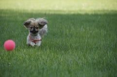 Un cane con una palla fotografia stock libera da diritti