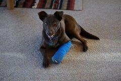 Un cane con una stecca sulla sua gamba Fotografia Stock