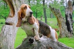 Un cane da caccia negli sguardi della foresta Fotografie Stock Libere da Diritti