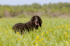 Un cane da caccia nero di una razza degli spaniel con le orecchie ricce lunghe sorride sopra la sua spalla immagini stock