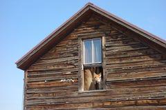 Un cane da guardia che scorteccia da una finestra Fotografia Stock