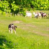 Un cane da guardia custodice un gregge delle capre per pascolare Fotografia Stock Libera da Diritti