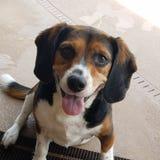 Un cane da lepre felice Immagine Stock Libera da Diritti