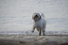 Un cane da pastore bianco si impenna lungo la spiaggia immagine stock libera da diritti
