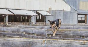 Un cane da pastore salta sopra la recinzione del recinto per il bestiame Immagini Stock Libere da Diritti