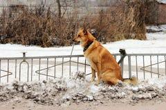 Un cane dai capelli rossi ibrido legato ad un recinto con un guinzaglio attende il suo proprietario vicino al deposito immagini stock libere da diritti