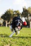 Border Collie che va a prendere il giocattolo della palla del cane al parco Immagini Stock Libere da Diritti