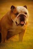 Un cane del bulldog che sta nell'erba al tramonto fotografie stock