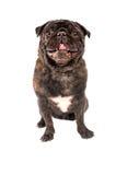 Un cane del carlino su bianco Fotografie Stock