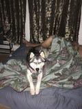 Un cane del husky fotografia stock libera da diritti