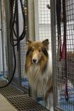 Un cane del riparo delle collie guarda dalla sua fossa di scolo fotografia stock libera da diritti
