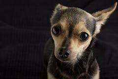 Un cane del terrier di giocattolo fotografia stock libera da diritti