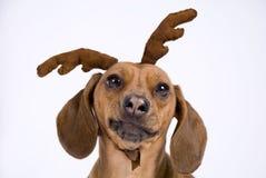 Un cane della razza del Dachshund Fotografia Stock Libera da Diritti