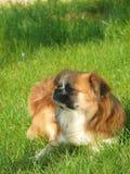 Un cane di animale domestico Immagine Stock Libera da Diritti