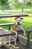 Un cane di combattimento sta trovandosi su un banco Fotografie Stock