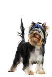 Un cane di cucciolo del Terrier di Yorkshire (di di tre mesi) Fotografie Stock