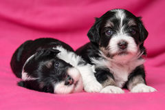 Un cane di due cuccioli havanese di menzogne sveglio su un copriletto rosa Fotografie Stock
