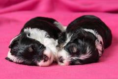 Un cane di due cuccioli havanese di sonno sveglio su un copriletto rosa Fotografie Stock