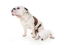 Un cane di due tori in studio: padre e figlio Fotografie Stock