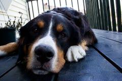 Un cane di montagna bernese Fotografia Stock