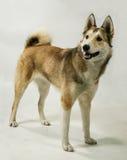 Un cane di razza Immagine Stock