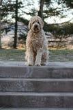 Un cane dorato di doodle Immagine Stock Libera da Diritti