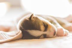 Un cane dorme sotto la coperta bianca posteriore, Immagine Stock