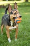 Un cane e la sua sfera Fotografie Stock