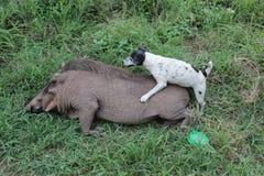 Un cane e un facocero confusi Fotografia Stock Libera da Diritti