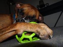 Un cane ed il suo giocattolo Immagine Stock Libera da Diritti