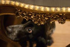 Un cane esamina lo sguardo astuto della tavola Fotografie Stock
