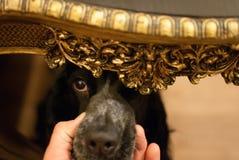 Un cane esamina lo sguardo astuto della tavola Fotografia Stock Libera da Diritti