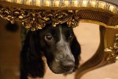 Un cane esamina lo sguardo astuto della tavola Immagine Stock