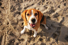 Un cane felice Fotografia Stock