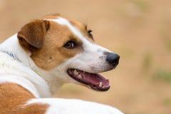 Un cane femminile che guarda indietro Immagine Stock Libera da Diritti