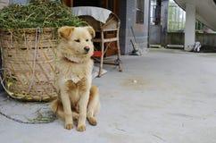 Un cane giallo si siede intorno Immagini Stock Libere da Diritti