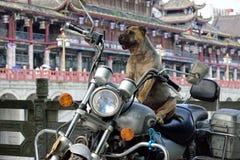 Un cane grasso che si siede su un motociclo Fotografie Stock Libere da Diritti