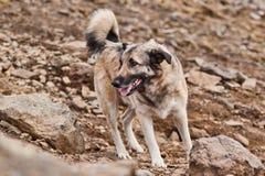 Un cane grigio che osserva il a sinistra. Fotografia Stock Libera da Diritti