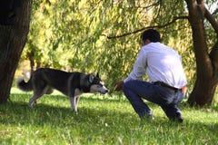 Un cane husky sta essendo vigile Fotografia Stock Libera da Diritti