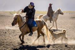 Un cane insegue e morde la coda di cavallo di un cavaliere del cavallo a Bromo fotografia stock