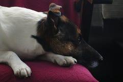 Un cane - Jack Russell Terrier che aspetta il suo proprietario immagini stock libere da diritti