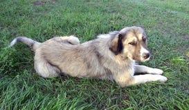 Un cane lanuginoso Fotografia Stock