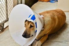 Un cane malato con un collare protettivo e una fasciatura blu sta trovandosi sopra Immagini Stock