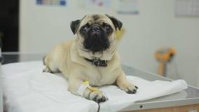 Un cane malato del carlino in una clinica veterinaria con un catetere nella zampa video d archivio