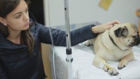 Un cane malato del carlino in una clinica veterinaria con un catetere nella zampa, nei colpi della ragazza e nel carlino di ramma stock footage