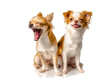 Un cane marrone di due chihuahua con fondo bianco Fotografia Stock