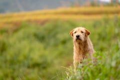 Un cane nel giacimento del riso all'aperto fotografia stock libera da diritti