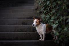 Un cane nella città Viaggiando con l'animale domestico Piccolo Jack Russell Fotografie Stock Libere da Diritti